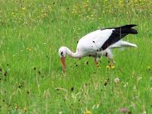 Storch im Bliesgau